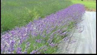 A Guide to Lavender : History of Lavender