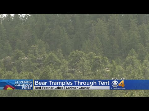 Bear Attacks Family Camping Near Red Feather Lakes