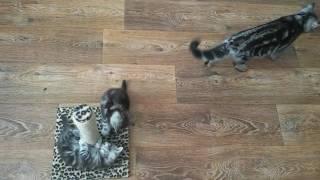 Шотландские плюшевые котята, черный мрамор на серебре