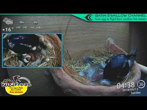 ツバメの雛が巣立つまでLIVE配信/4話目孵化ハイライト