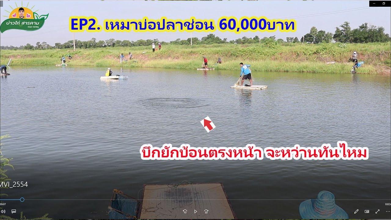 EP2 เหมาบ่อปลาช่อนปลานิล60,000บาท บ่อที่2