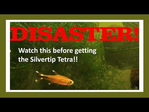 Silvertip Tetra DISASTER! Watch This Before Getting Silvertip Tetra!!