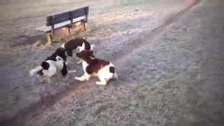 Springer Spaniel Puppies Playing
