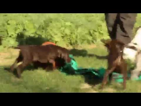 German Shorthaired Pointer Puppies For Sale
