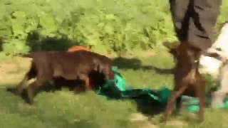 German Shorthaired Pointer Puppies For Sale | Greenfield Puppies