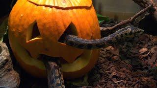 Animals at Brookfield Zoo Enjoy Pumpkin Treat