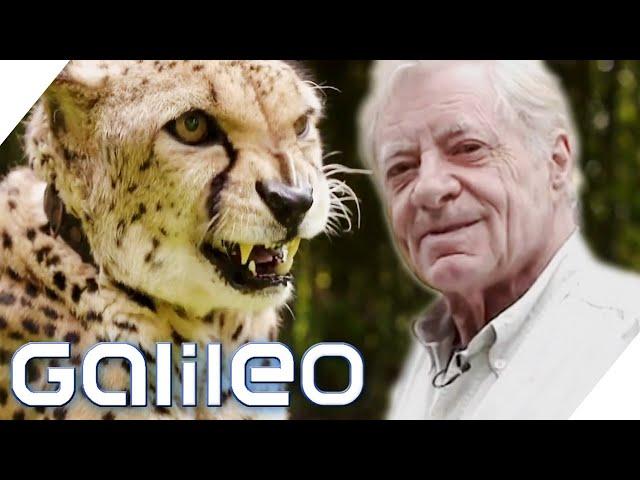 Der deutsche Tiger King?! Hans-Peter Gaupp hält Raubkatzen in einem Hotel | Galileo | ProSieben