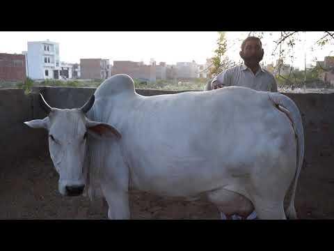 CHAMPION HARYANA COW.Champion @ Punjab and Haryana. Super quality DESI cow.Owner - NASIB SINGH