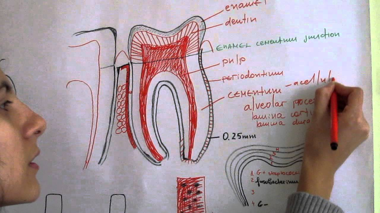 Periodontal Anatomy Edition Youtube