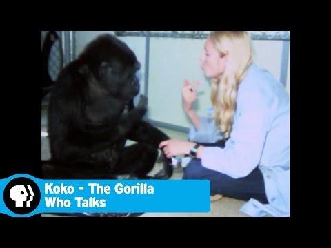 KOKO - THE GORILLA WHO TALKS   Trailer   PBS