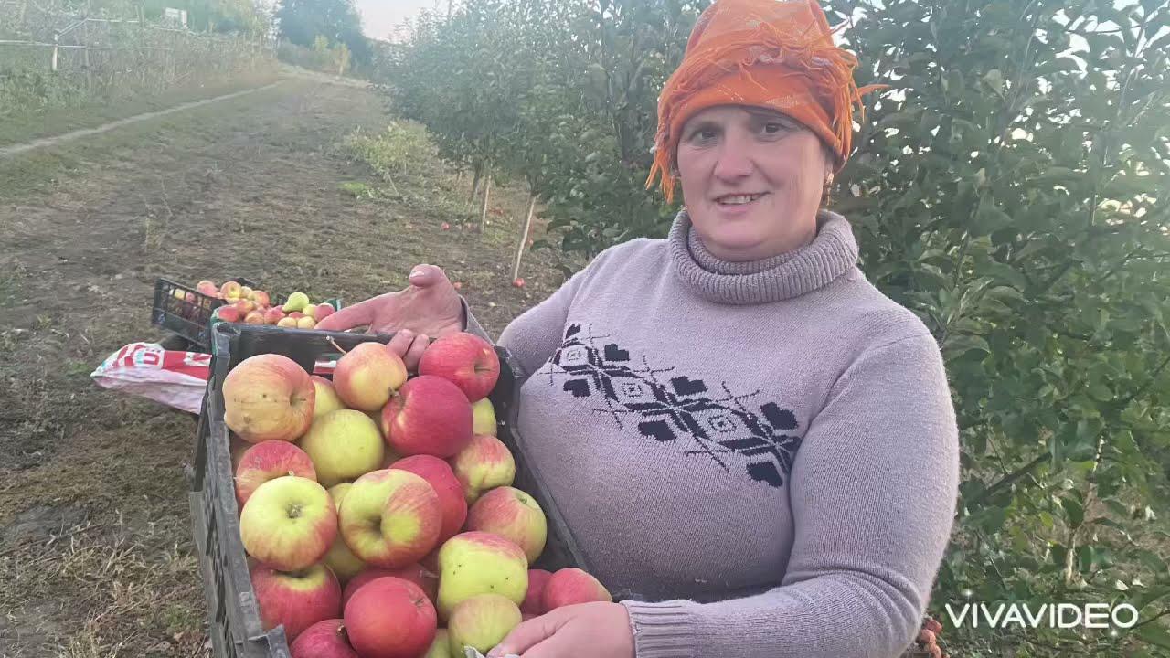 Яблука сорт Чемпион