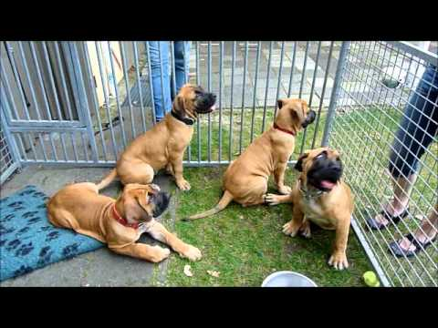 Boerboel Puppy Lotje: reunion with brother and 2 sisters.