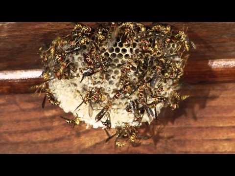 Wasps Under My Deck.mov