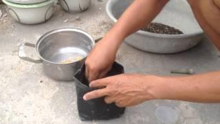 video cách tạo rể bàn cho cây sứ