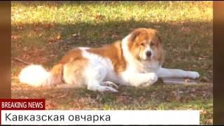 ТОП 10 самых опасных собак