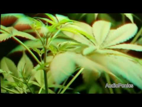 Marijuana growth boost with DNA frequencies melody - Audioponics  grow faster