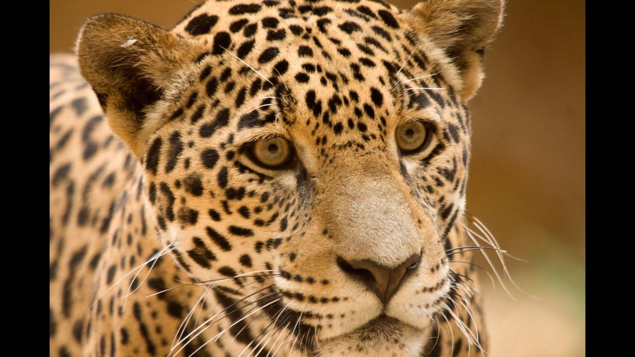 Jaguar Animals for Children Kids Videos Kindergarten
