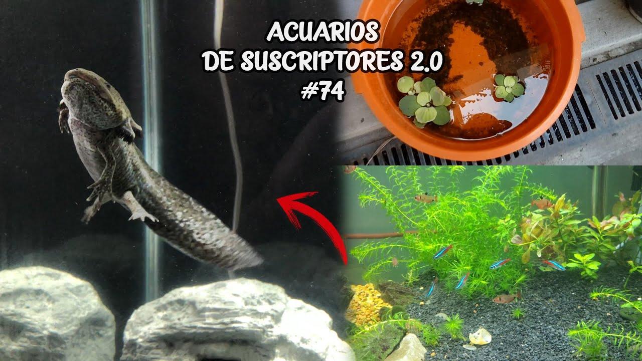 ACUARIOS DE SUSCRIPTORES 2.0 #74 | Ajolote, Pez Betta, Cilcidos | AcuariosLP