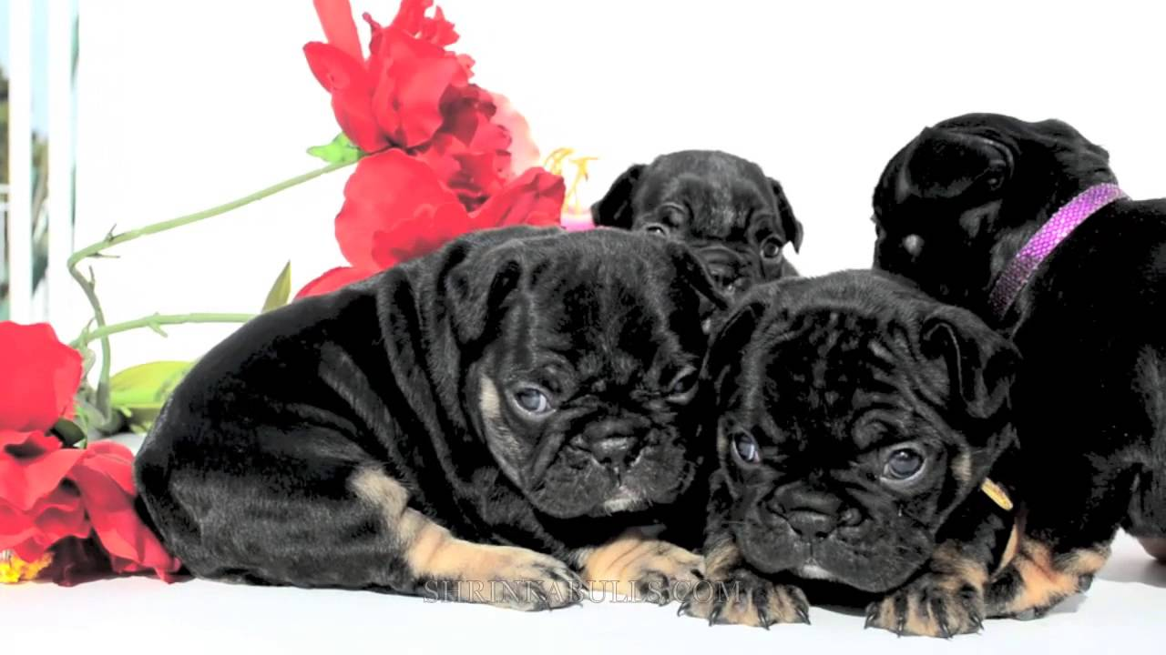 Black Triblack Tan French Bulldog Puppies For Sale