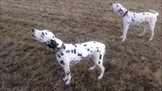 Собаки поют