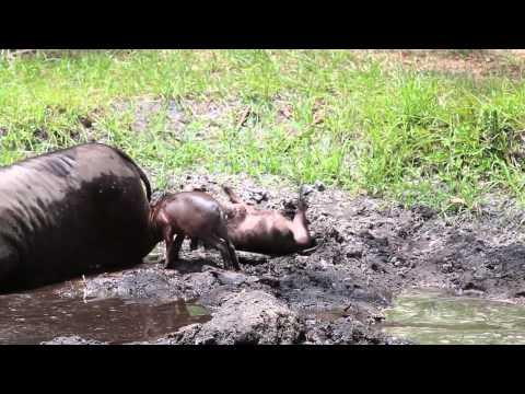 Babirusa Babies - May 26 2012