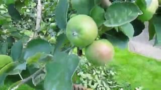 Летняя обрезка плодоносящей яблони.