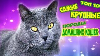 Топ 10 Самые крупные породы домашних кошек