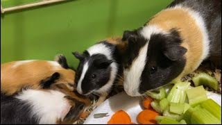 Best Food For Guinea Pigs Happy Family