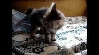 """Смешная кошка Масяня-""""коза рогатая"""" :)"""