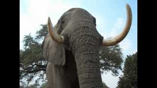 Having A Moment With Big Vic, Mana Pools, Zimbabwe