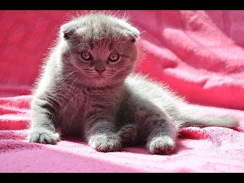 Британские и шотландские котята.Приучаем к лотку.Котятам один месяц