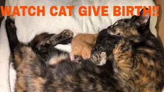 Our Cat Giving Birth to kittens.  Watch sweet kittens being born!!!