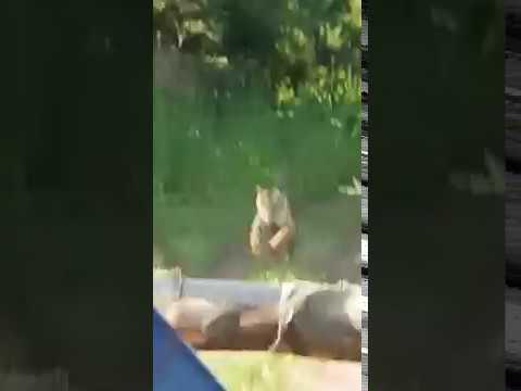 Tadoba Tiger chasing tourists Jeep
