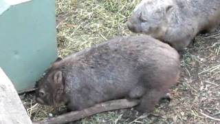 Mother Wombat with Babies Foot Hanging out of Pouch