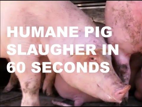 """Humane"" Pig Slaughter In 60 Seconds"