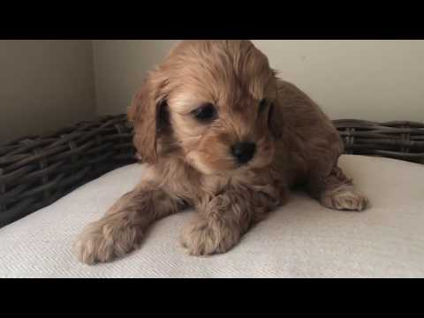 GIRL #1 - TOY Cavoodle puppy