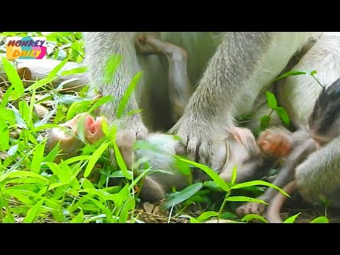 Bela baby cry loudly cos mom want to wean her|Why mom do this baby too small to wean|Monkey Daily848