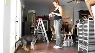Clicker training 12 week irish wolfhound puppy