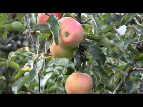 Пинова-саженцы для яблоневого сада