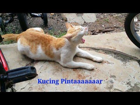 Kucing Kampung Pintar - Kucing Lucu - Funniest Animals Cat ...