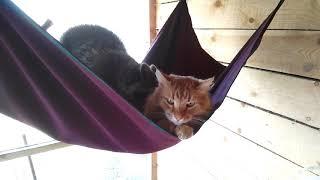 Енот и его любимый кот. Продолжение. Кот в гостях у енота.