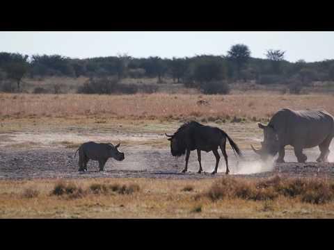 P5230128   WItte neushoorns in actie, Khama Rhino Sanctuary