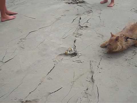 Norwich Terrier vs. South Carolina Blue Crab - YouTube