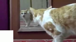 Прикольные кошки кошка и зеркало Забавно смотреть!! 004