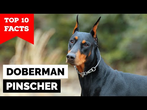 Doberman Pinscher - Top 10 Facts