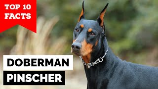 Doberman Pinscher  Top 10 Facts