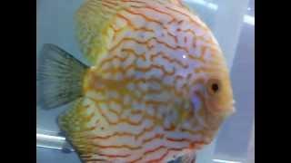 www.aquafishseller.com DISCUS FISH BREEDER (HATCHERY), PUNE, INDIA. DISCUS FISH FOR SALE.