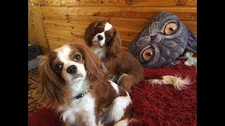 VLOG: Приезд мамы Тима. Жизнь с двумя собаками. Кавалер Кинг Чарльз спаниель.