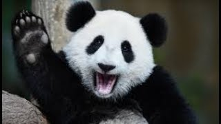 Невероятная жизнь большой панды Документальный фильм Amazing animals