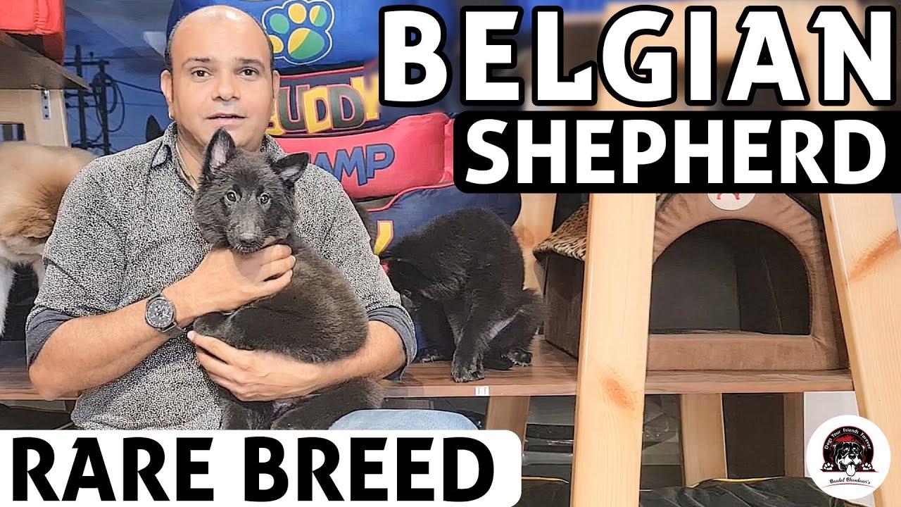 Belgian Shepherd Puppies - All About Rare Dog Breed | Funny & Cute Puppies Video | Baadal Bhandaari